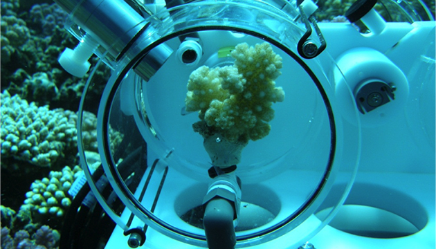 "<p> 	Close up of a coral sitting inside an incubation chamber of the ""Coral Hotel"" deployed in the Red Sea. Constructed by TLZ at GEOMAR Helmholtz Center for Ocean Research. Sawall et al. 2014 PLoS ONE, Sawall et al. 2015 Scientific Reports, Wahl et al. PLoS ONE 2014.</p>"