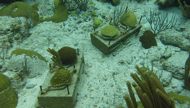 <p> 1.5Experimental coral colonies fixed to cinder blocks at Hog Reef, Bermuda. They have been used repetitively for the flume experiments over a period of 2 years. Photo: Sawall.</p>