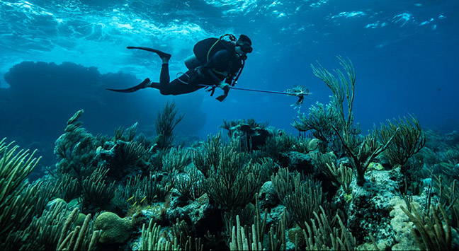 <p> 	CABIOS intern, Kevin Wong, diving on Bermuda's reefs spears an invasive lionfish. Photo by Shayna Brody, Waitt Institute.</p>