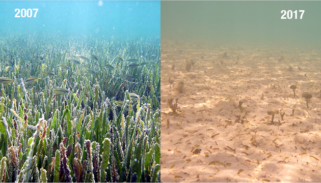 <p> 	3.1 Decline of seagrass in Bermuda seagrass meadows in Bailey's Bay. Photos: Bermuda Gov. Department of Environment and Natural Resources (DENR).</p>