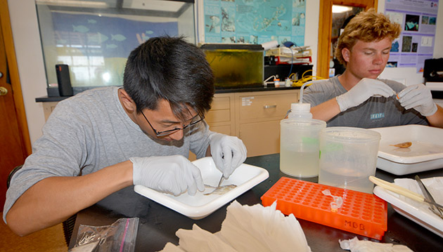<p> A CABIOS intern dissects a fish as part of an ongoing project using environmental DNA (eDNA) to characterize fish populations in Bermuda.</p>